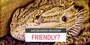 are bearded dragons friendly?