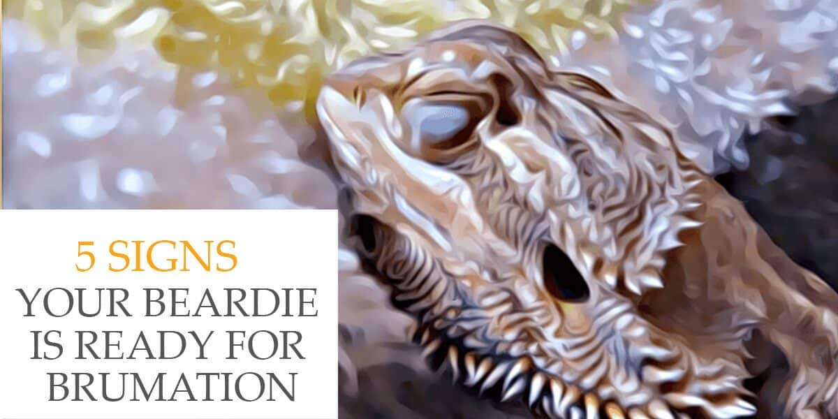 Bearded Dragon Brumation | 5 Signs Your Beardie Is Ready ...